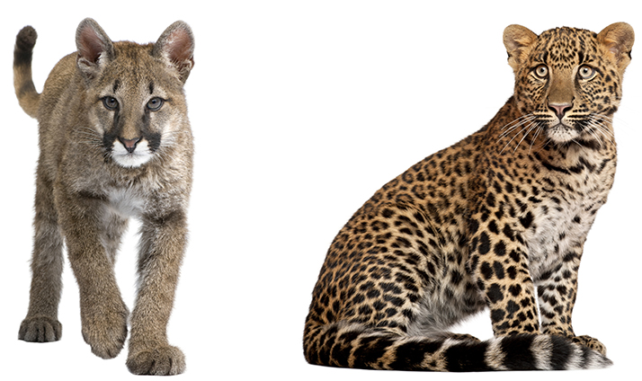 Cougar (left) and leopard (right)